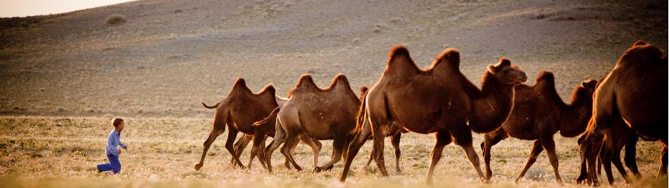 A young Mongolian boy herds Bactrian camels -  Photo: Cam Cope