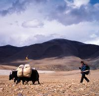 A yak herder and his yaks make their way through fields in Tibet -  Photo: Jamie Williams