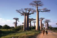 Walking amongst baobab trees in Madagascar |  <i>Gesine Cheung</i>
