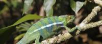 The intriguing chameleon   Ian Williams