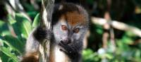 Cheeky lemur playing in the tree tops   Ian Williams