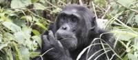 A male chimp grazes on the vegetation | Ian Williams