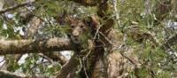Tree climbing lion in Queen Elizabeth National Park | Ian Williams