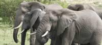Herd of elephants in the Kazinga Channel | Ian Williams