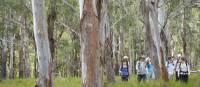 Walking through Eucalyptus forest on the Scenic Rim Walk