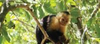 Cheeky capuchin monkey | Sophie Panton