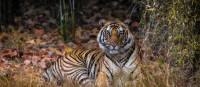 Bengal tiger in India | Richard I'Anson