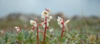 Delicate Northern Arctic flora   Fiona Windon