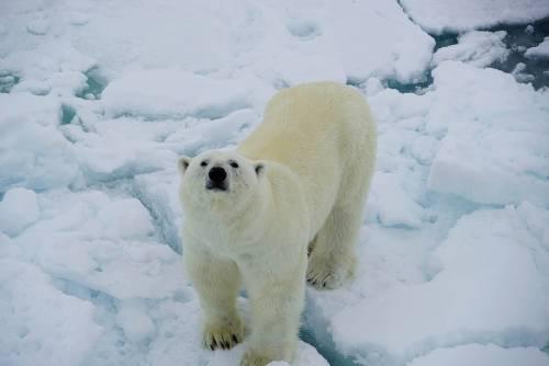 A Polar Bear curiously sniffs up towards the ship&#160;-&#160;<i>Photo:&#160;Gesine Cheung</i>