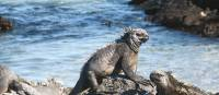 The Marine Iguanas are just some of the many animals you will discover on the Galapagos Islands   Jeanette Kuoni